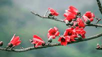 Video: Đắm mình trong sắc đỏ rực rỡ của cây gạo hàng trăm năm tuổi ở Nghệ An