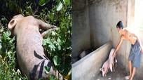 Ở nơi ngày nào cũng có lợn chết vì dịch tả châu Phi