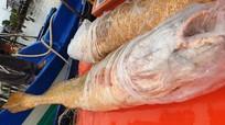 Cặp cá sủ vàng lớn nhất từ trước đến nay dính lưới ngư dân