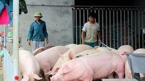 Lợn thịt tăng giá mạnh, phải chăng do doanh nghiệp 'thổi' giá?