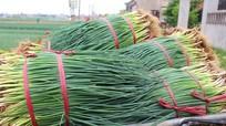 Ra Tết, nông dân Quỳnh Lưu tích cực sản xuất rau vì được giá