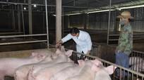Nghệ An: Nông hộ vẫn 'treo' chuồng nhưng hơn 360 trang trại lợn tái đàn mạnh
