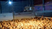 Nông dân Nghệ An đốt than sưởi ấm cho gà ngày rét