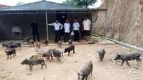 Lợn đen đặc sản miền Tây Nghệ An vẫn giữ giá trên 160.000 đồng/kg