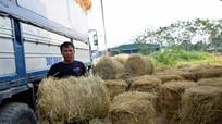 Nghệ An: Hàng trăm tấn phụ phẩm nông nghiệp bỏ lãng phí ngoài đồng ruộng
