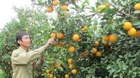Hạn chế 'phát triển nóng' cây có múi ở vùng Bắc Trung Bộ