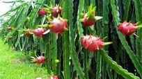 Chuyện hiếm, trái cây Việt Nam xuất mạnh sang Thái Lan