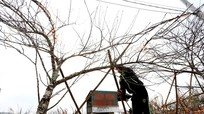 Thủ tướng cấm chặt đào rừng chơi Tết