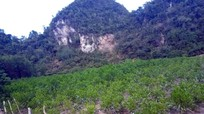 Vườn keo 4.000 cây bị kẻ xấu chặt sát gốc ở Nghệ An