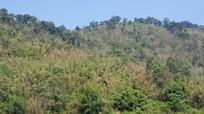 Trên 1.000 ha nứa bị chết khô, tiềm ẩn nguy cơ cháy rừng