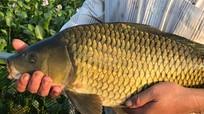 Nghệ An: Nuôi cá trắm, chép giòn chỉ cho ăn đậu tằm thu cả trăm triệu