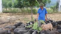 Lợn đen bản địa tăng giá mạnh