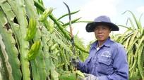 Nông dân ngừng cho thanh long ra quả để đối phó với dịch bệnh