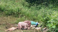 Truy tìm người vứt trộm đàn lợn trăm con ở khu vực giáp ranh Nghệ An-Thanh Hóa