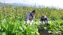 Hiệu quả mô hình trồng rau an toàn ở Tương Dương