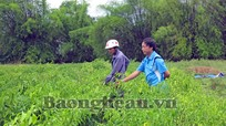 Hưng Xá (Hưng Nguyên): Hiệu quả mô hình trồng cỏ ngọt, ớt cay