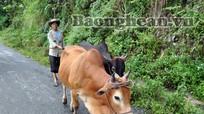 Làm giàu nhờ trồng cỏ, nuôi bò