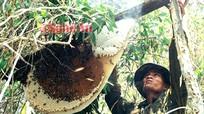 Ẩn họa từ nghề săn mật ong rừng