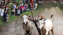64 cặp bò tranh tài trong hội đua ở An Giang