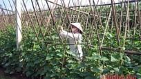 Sản xuất rau an toàn: Vẫn chưa hết khó