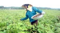 Hiệu quả chuyển đổi đất lúa sang trồng màu