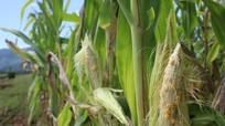 Tân Kỳ: Nông dân điêu đứng do mất mùa ngô