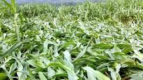Anh Sơn: Lốc xoáy làm gãy đổ hàng chục ha ngô