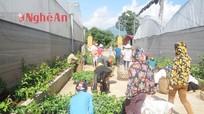 Quế Phong: Hỗ trợ nông dân trồng mới 15,5 ha chanh leo