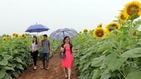 Đội mưa ngắm hoa mặt trời