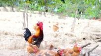 Gà đồi Thanh Chương - đặc sản làng quê