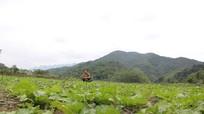 Bản dân tộc Thái trồng rau an toàn