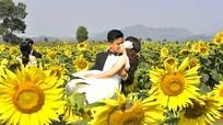 Chụp ảnh cưới trên cánh đồng hoa hướng dương