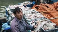 """Ngư dân Quỳnh Phương (TX Hoàng Mai) """"trúng"""" mùa cá xuất khẩu"""