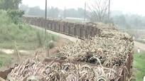 Khoảng 680.000 tấn mía cây cho vụ ép mới của Nhà máy đường Nasu
