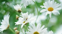 Bài thuốc chữa bệnh từ hoa cúc