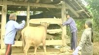 Quỳ Hợp: Tiêm phòng cho gia súc đạt 80%
