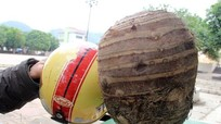 Phát hiện củ khoai sọ khổng lồ ở Nghệ An
