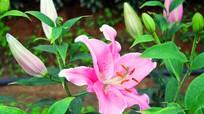 Nông dân Nghệ An bật điều hòa để hãm hoa ly nở
