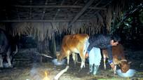 Hàng trăm trâu bò ở Nghệ An bị chết vì rét kỷ lục