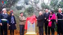 400 cây chè Shan tuyết ở Yên Bái được công nhận là Cây di sản Việt Nam