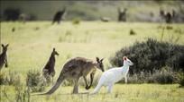 Bắt gặp kangaroo trắng tuyệt đẹp dạo chơi trên đồng cỏ Úc