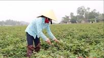 Trồng khoai lang đỏ ở Nghệ An đạt 360 triệu đồng/ha