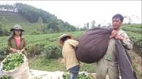 Nhộn nhịp thu hoạch ở đảo chè Hùng Sơn