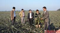"""Tây Quỳnh Lưu: Đất khó nhả """" vàng"""""""