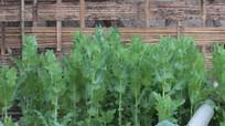 Hàng trăm cây thuốc phiện dân tái trồng ở biên giới Nghệ An đã được nhổ bỏ