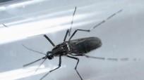 Phát hiện mới: Zika có thể gây viêm não ở người lớn