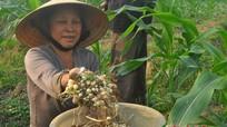 Nông dân Nghi Lộc làm giàu với hành tăm, thuốc lào, lạc Hàn Quốc