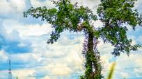 Nghệ An: Cây sanh dáng độc giữa cánh đồng