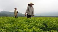 Thoát nghèo nhờ trồng rau ngót