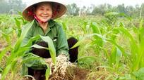 Trồng hành tăm thu nhập gấp 11 lần trồng lúa